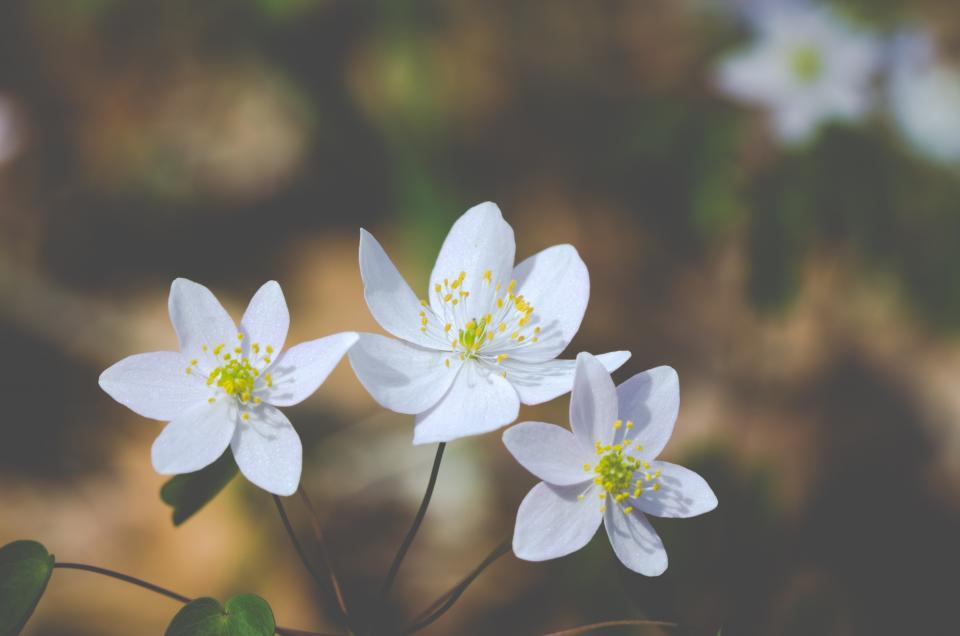 flowers, wild, spring, white, petals, nature