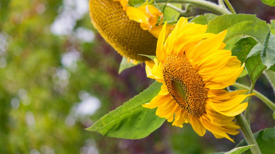 yellow, sunflowers
