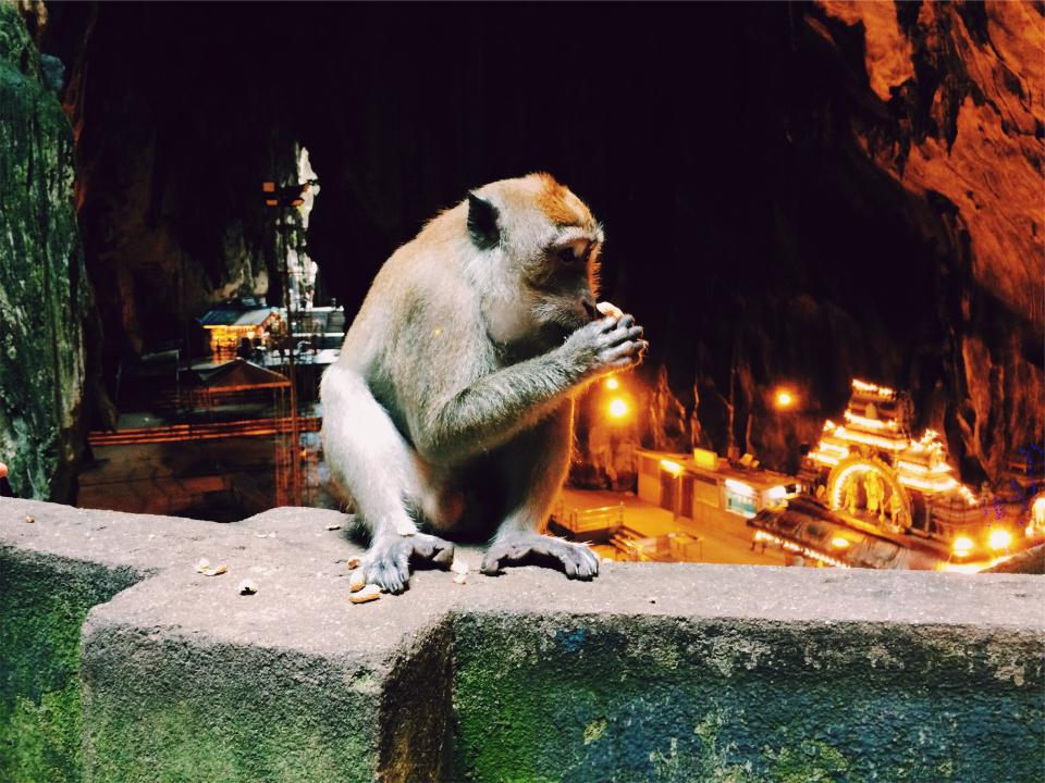 monkey, animal