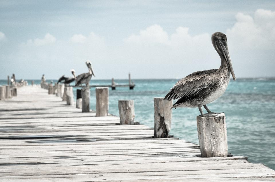 sky, clouds, pelican, birds, dock, pier, water, wood, sunny, sea