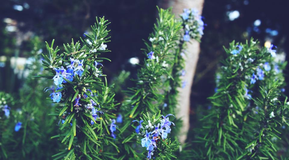 pine leaves, flowers, green