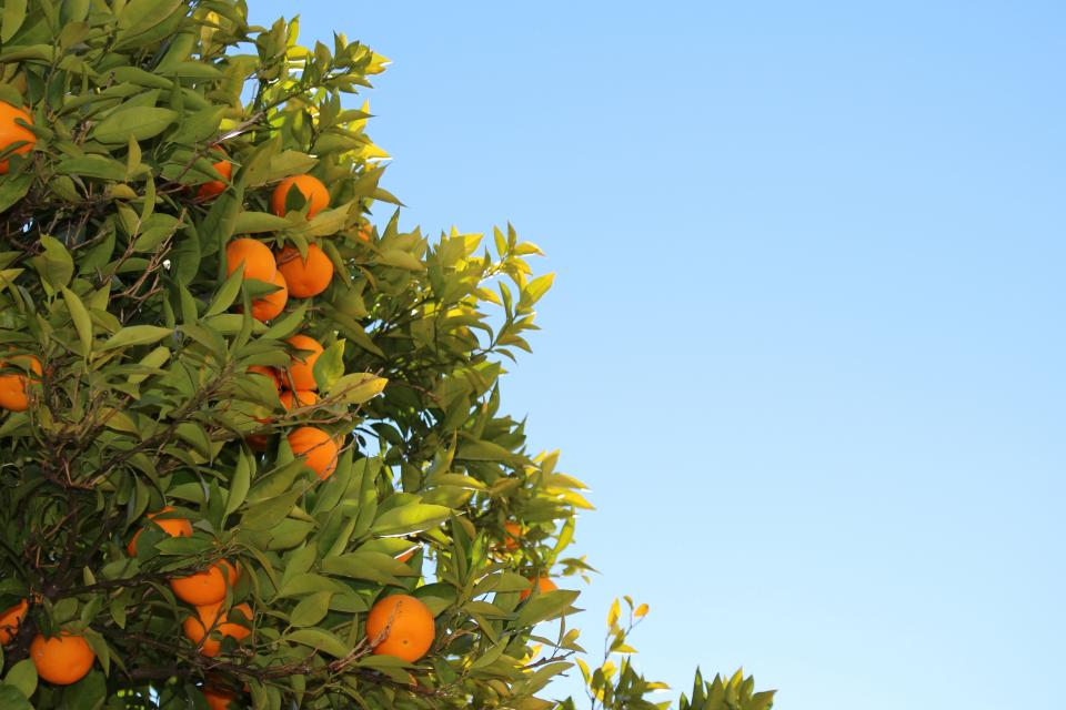 oranges, fruits, tree, leaves, blue, sky