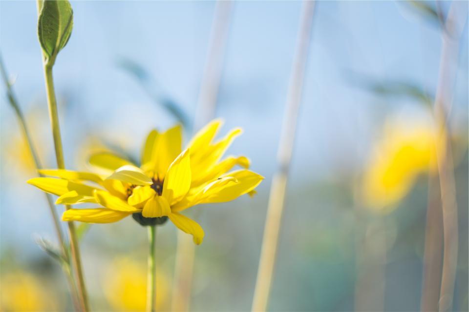 yellow, flower