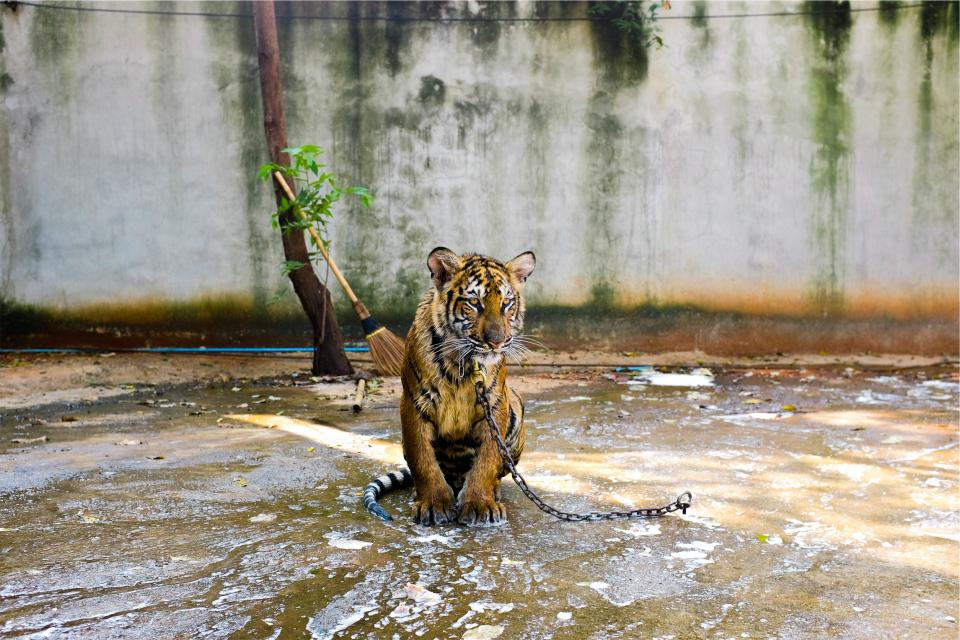 tiger, animal, chained, leash, zoo