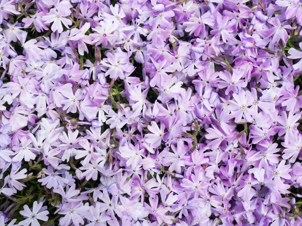 flowers, nature, blossoms, lilac, petals, leaves, violet, purple, bed