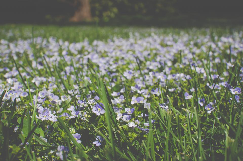 flowers, grass, purple, field, nature, green