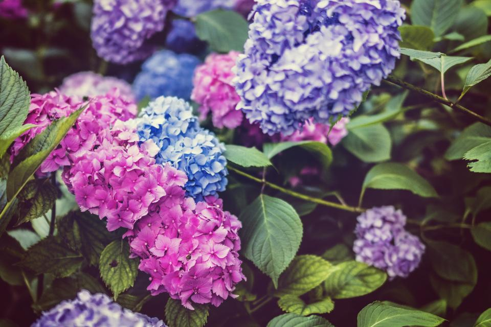 flowers, nature, blossoms, leaves, bed, field, clusters, pink, blue, purple, petals, macro, still, bokeh