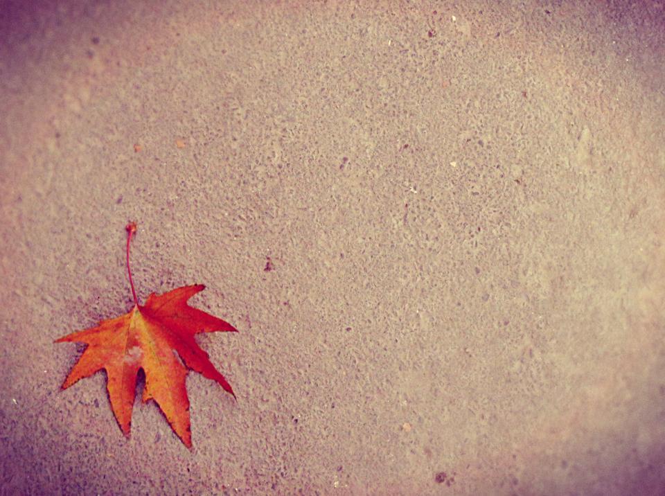 maple leaf, ground