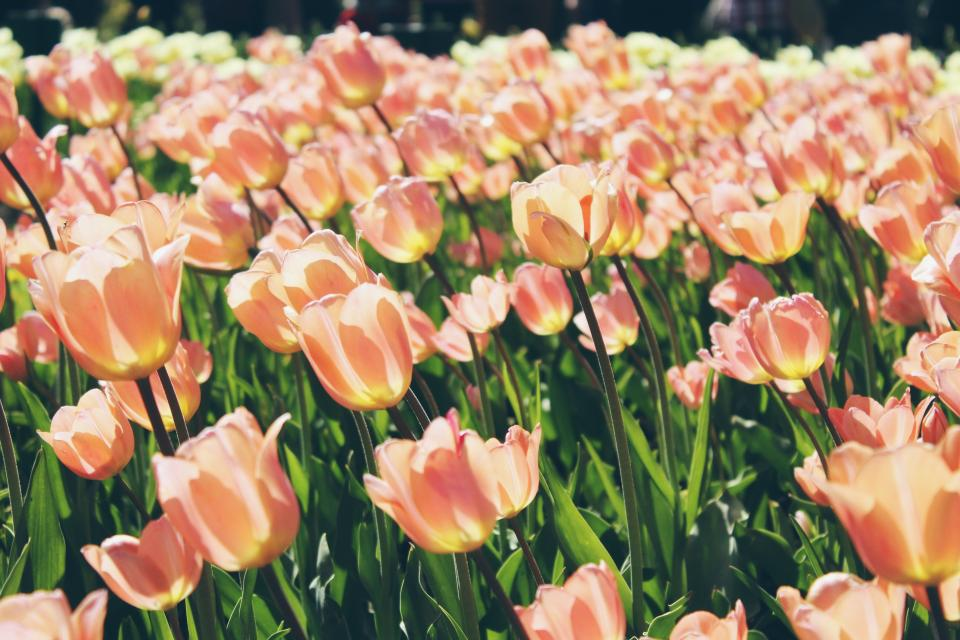 tulips, flowers, field, nature, green, orange, plants, garden