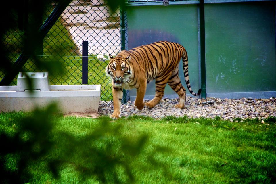 tiger, animal, zoo