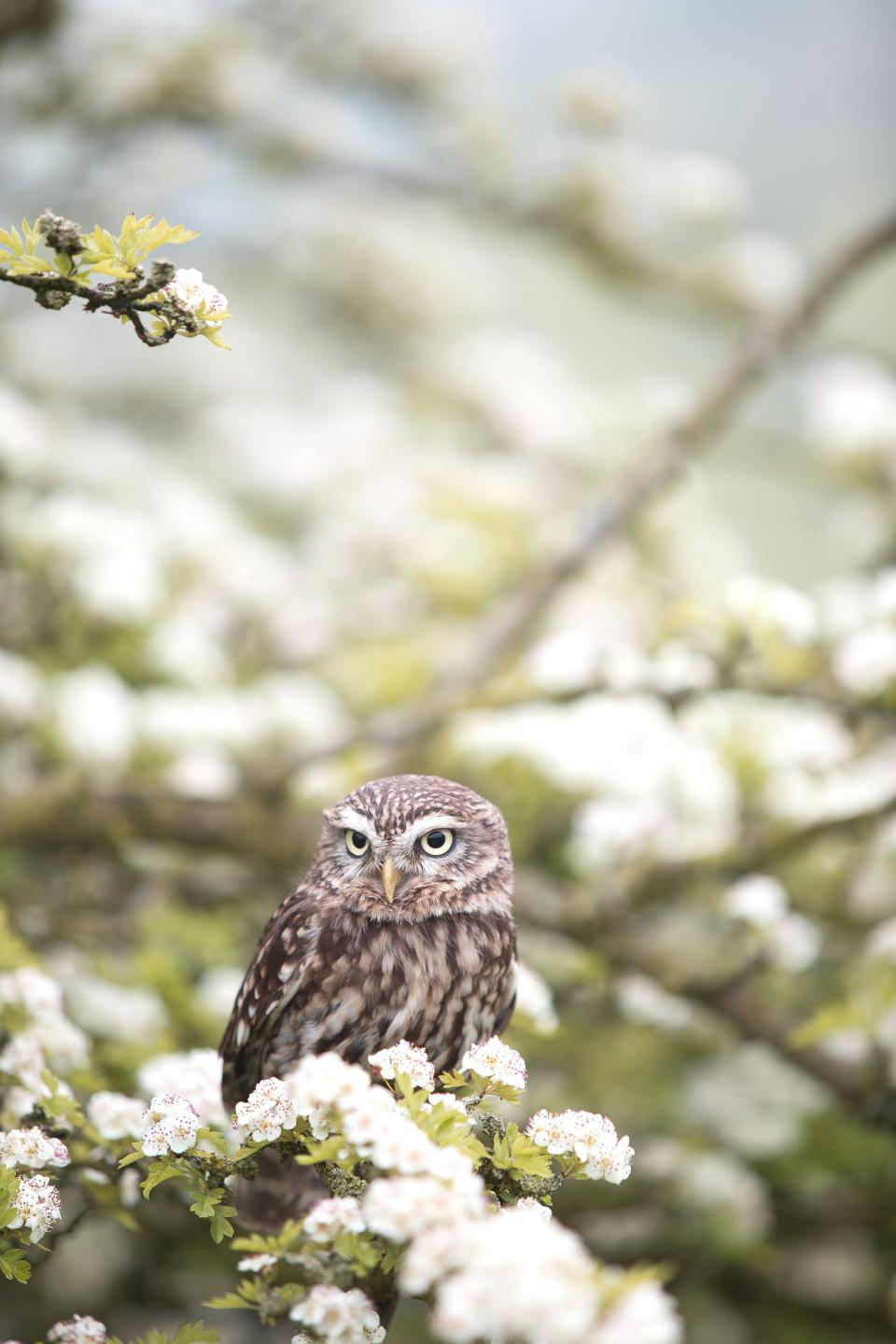 animals, birds, owl, perched, flowers, nature, blossoms, branches, trees, white, petals, still, bokeh, beautiful, white, brown, green, pastels