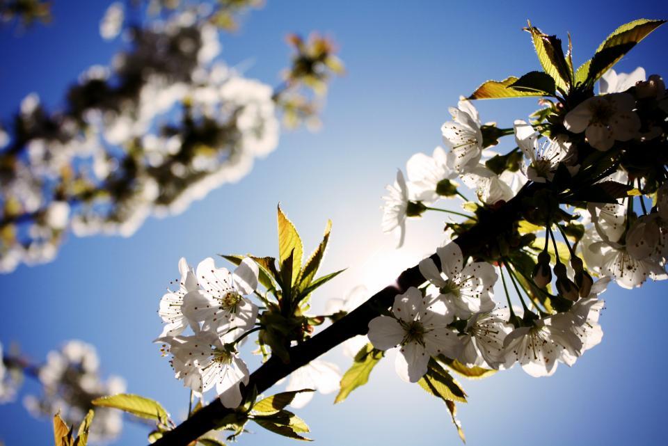 white, flowers, cherry blossoms, sky, sunshine