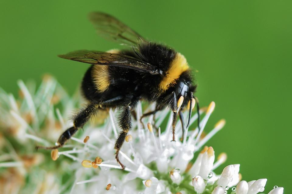 bumble bee, insect