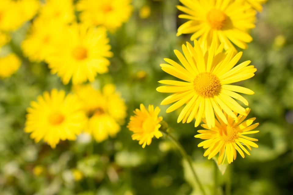 flower, garden, yellow, nature, blooming