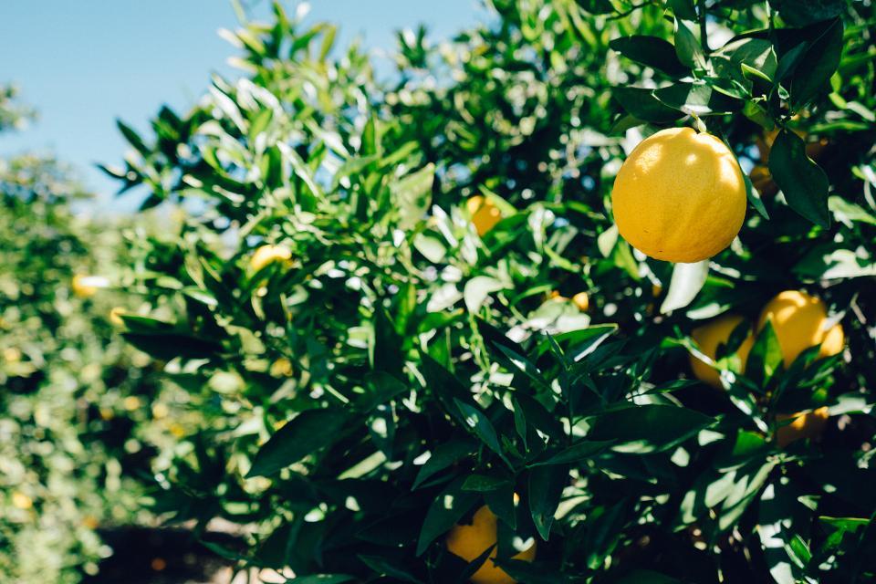 oranges, fruits, trees, green, leaves, sunshine, sunny