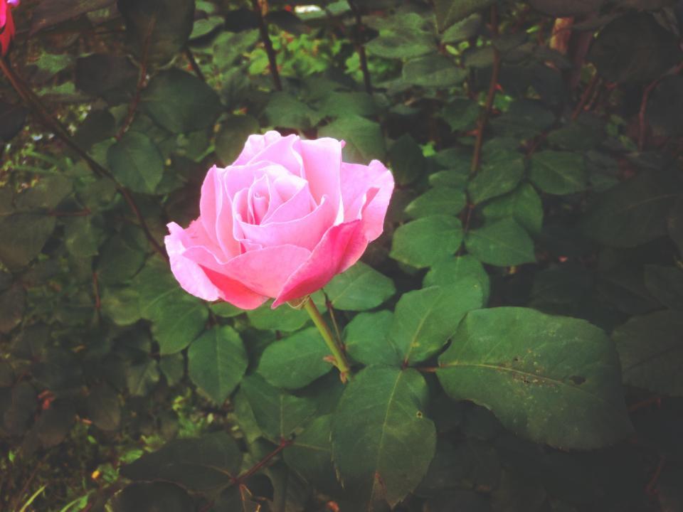 pink, rose, flower, leaves