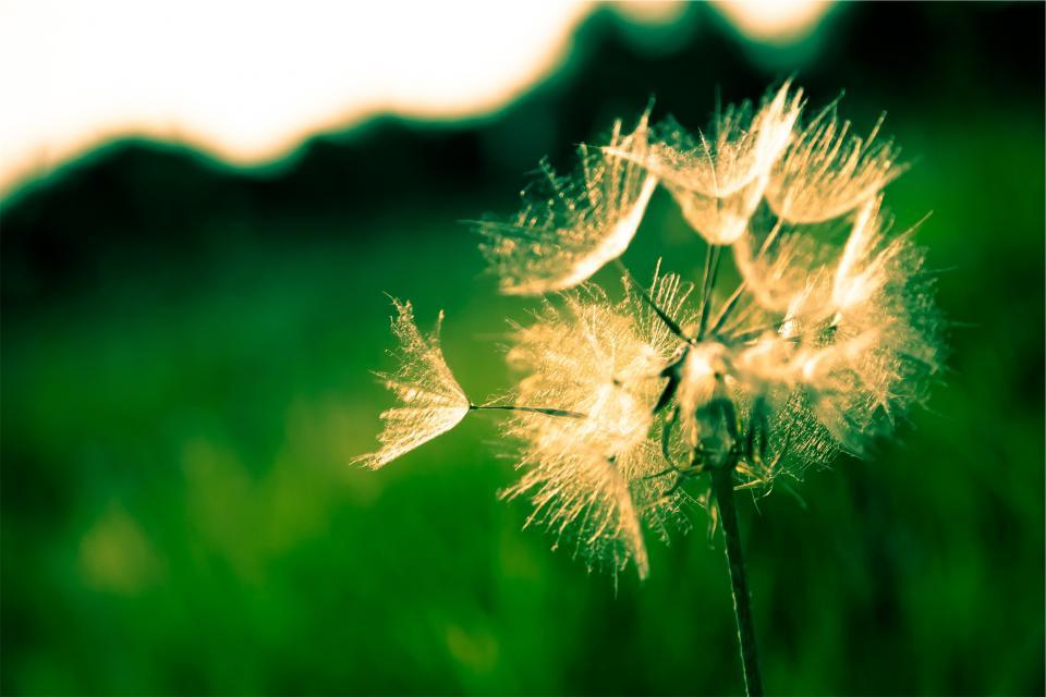 dandelion, flower