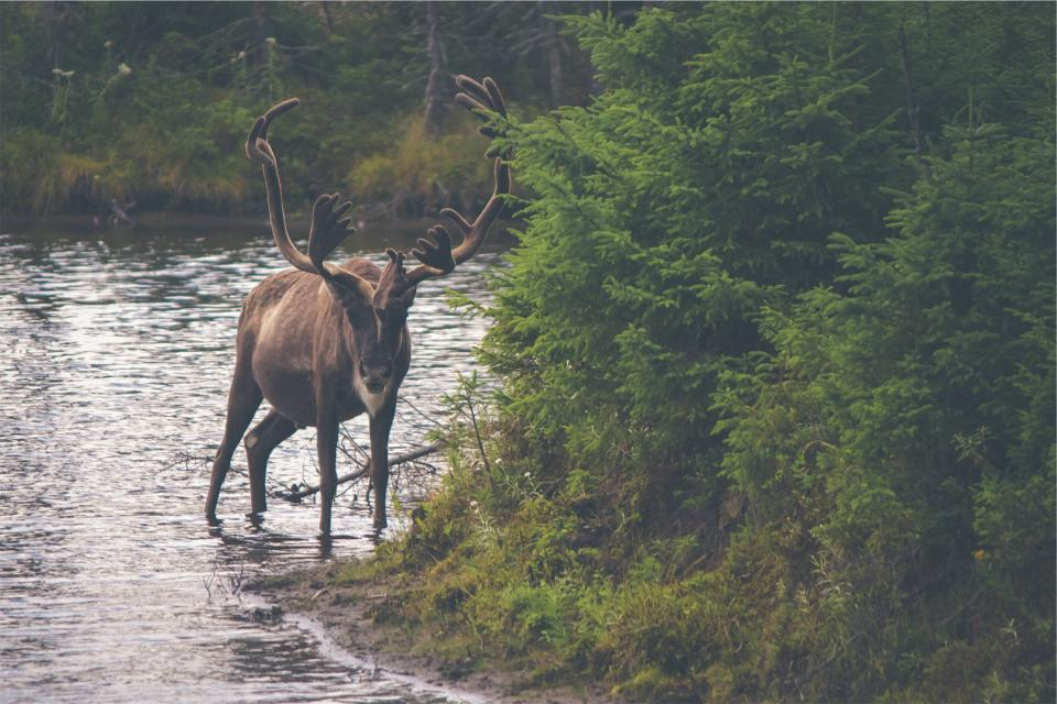 moose, antlers, animal, river, water, trees, leaves, nature