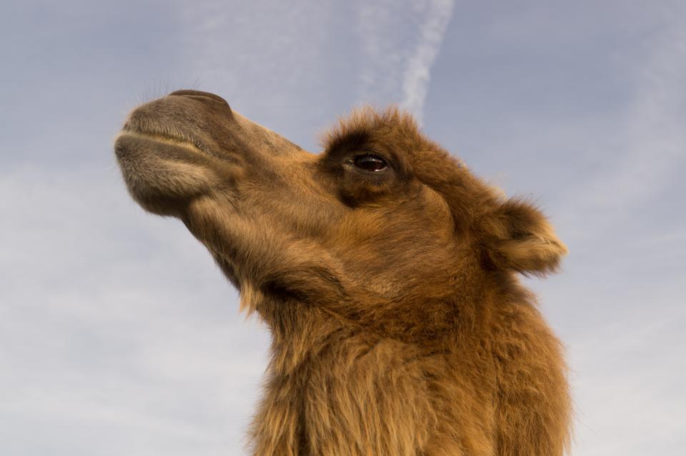 camel, animal