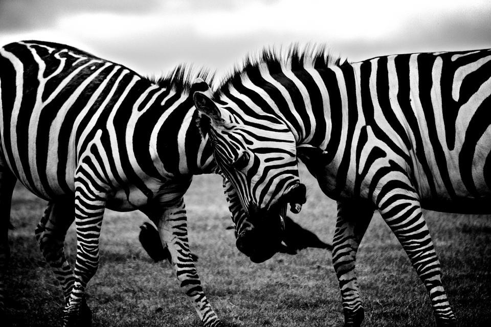 zebras, animals, black and white