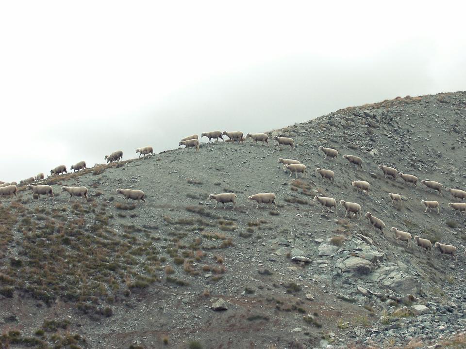 wild, sheep, animals, mountain, rocks, dirt