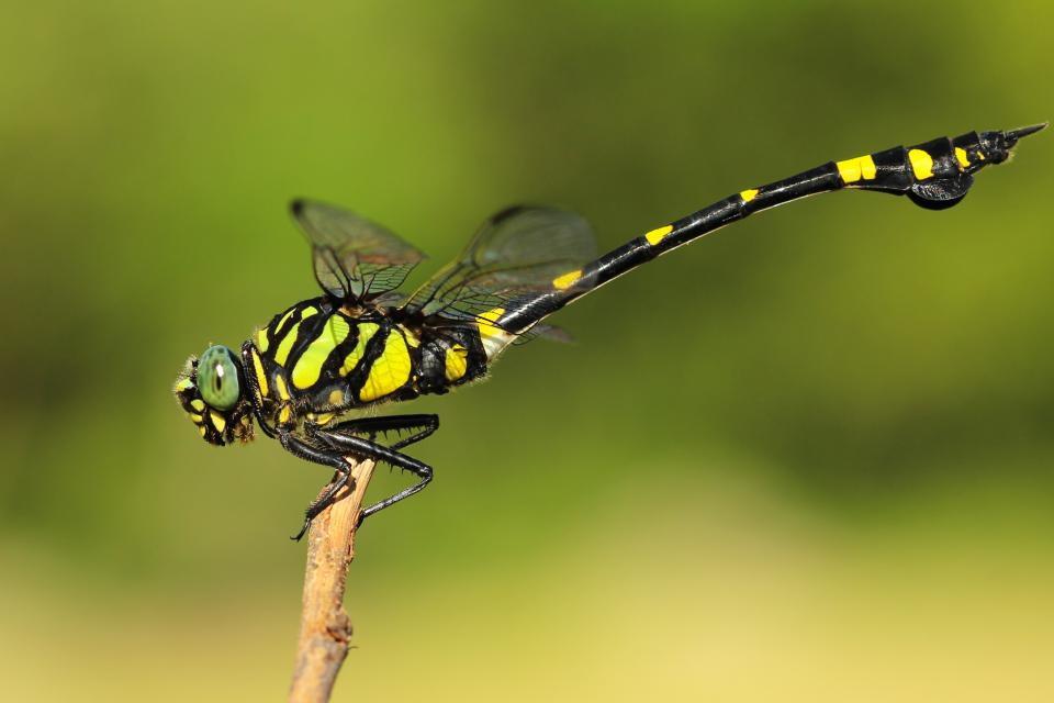 insects, dragonfly, perched, wings, colors, patterns, gradient, still, bokeh