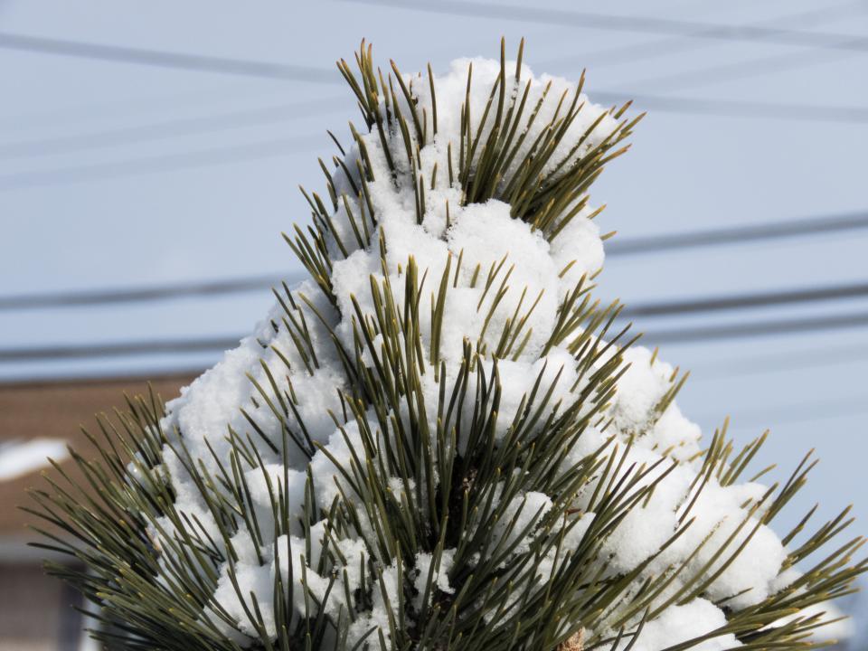 pine leaves, snow, winter