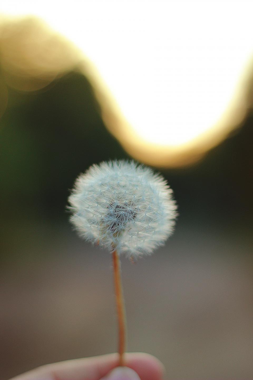 flowers, nature, blossoms, stalks, stems, dandelion, white, hand, hold, still, bokeh, dreamy, beautiful, light, leak