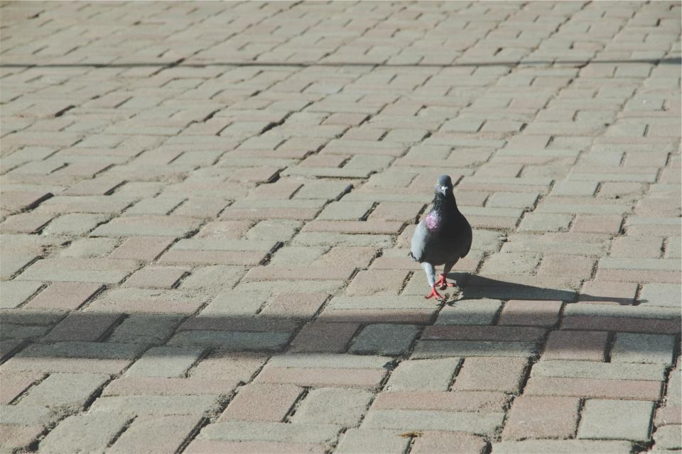 pigeon, bird, cobblestone, ground