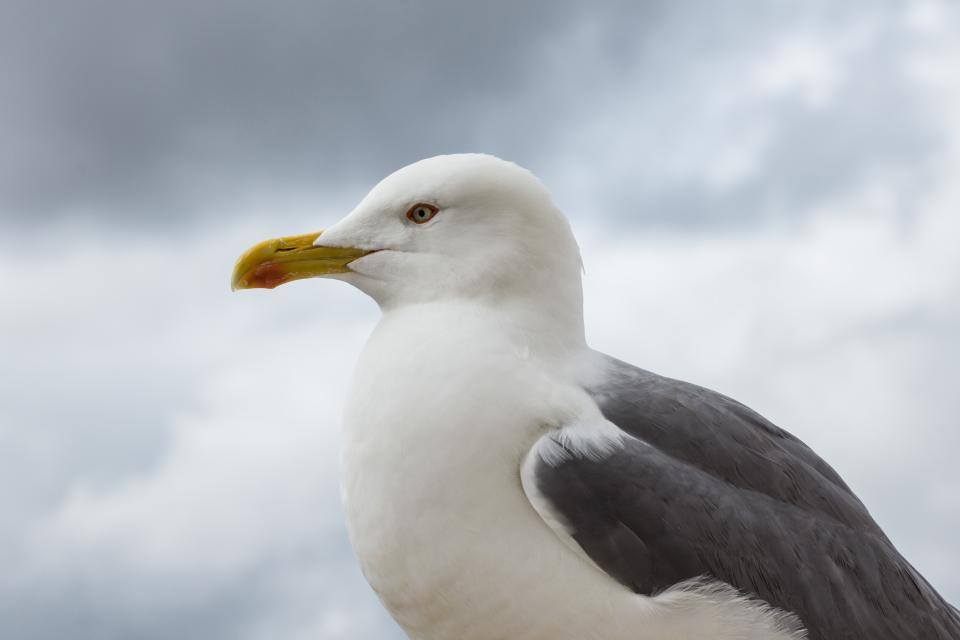 seagull, bird, beak, sky