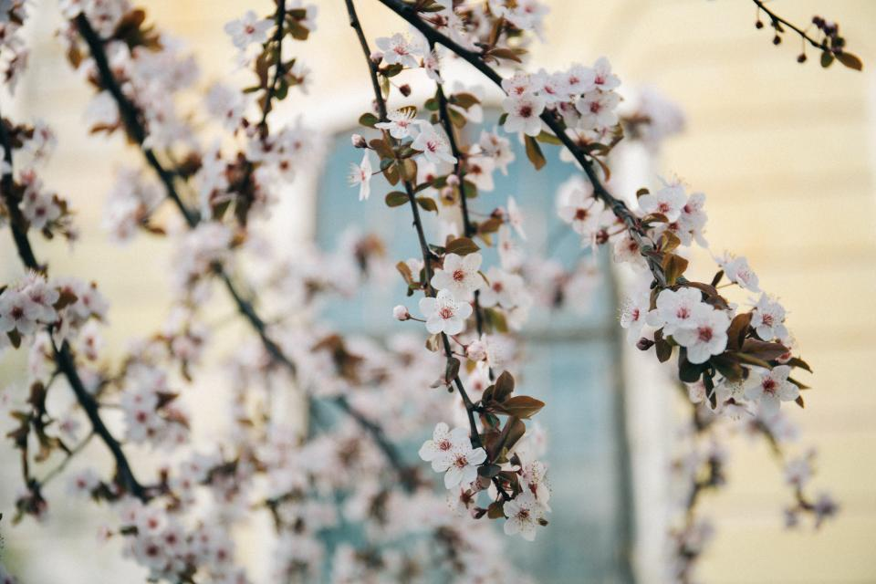 white, blossoms, trees, branches, flowers, garden, nature, outdoors