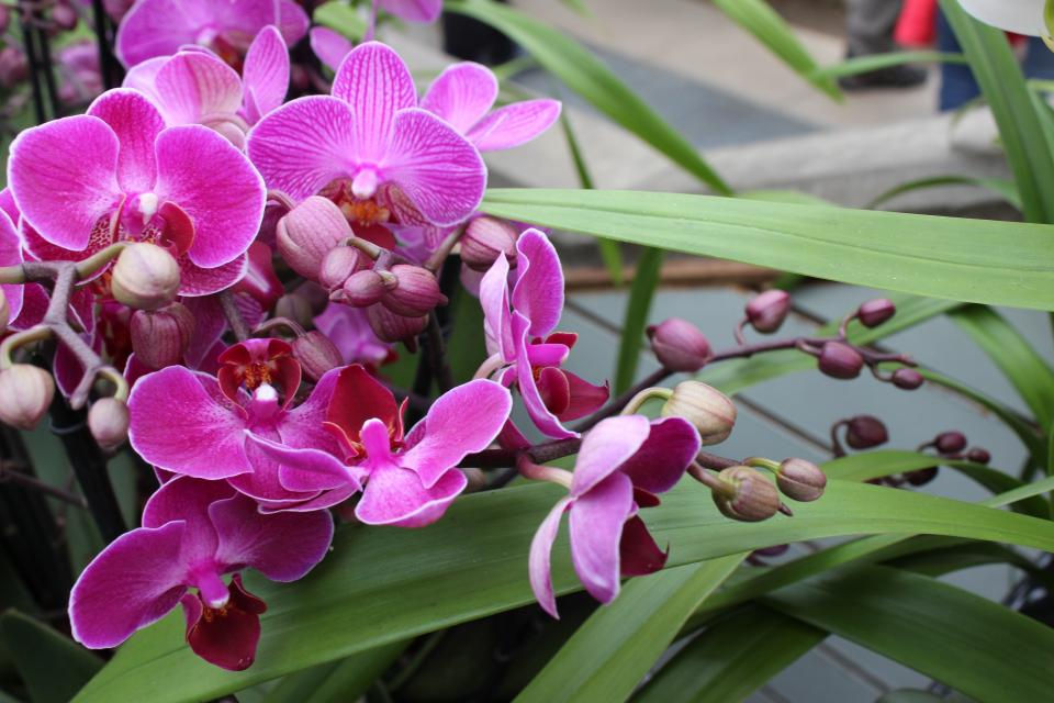 flowers, orchid