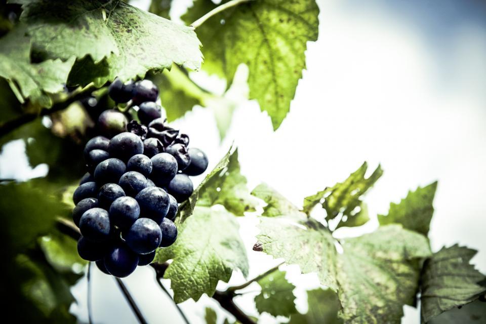 food, fruits, grapes, leaves, vine, green, bokeh