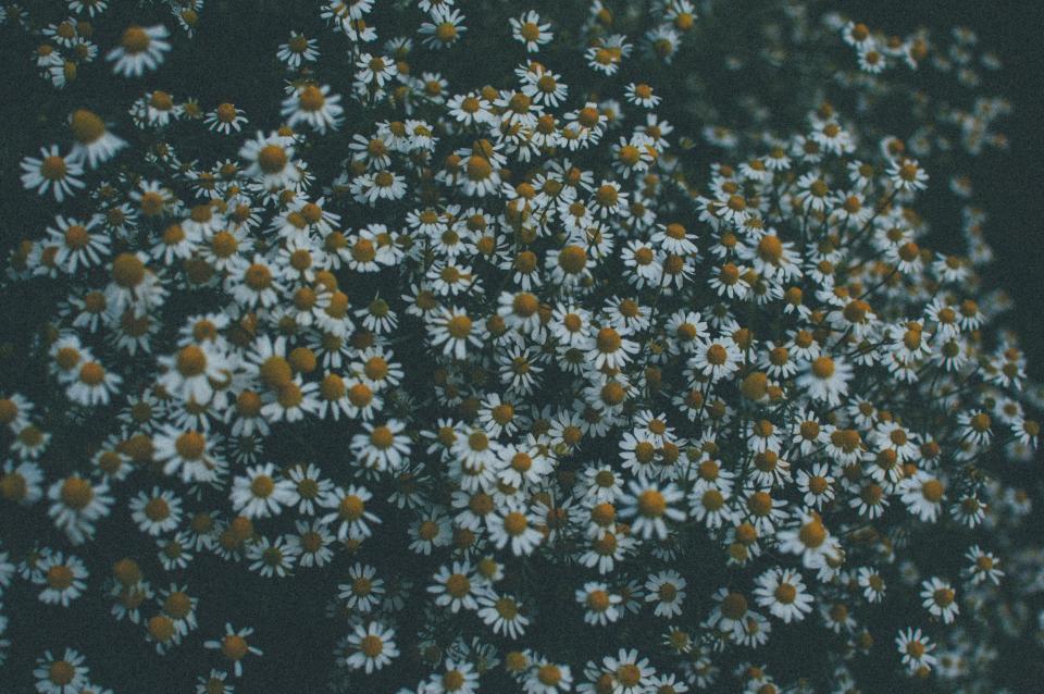 daisy, daisies, flowers, garden
