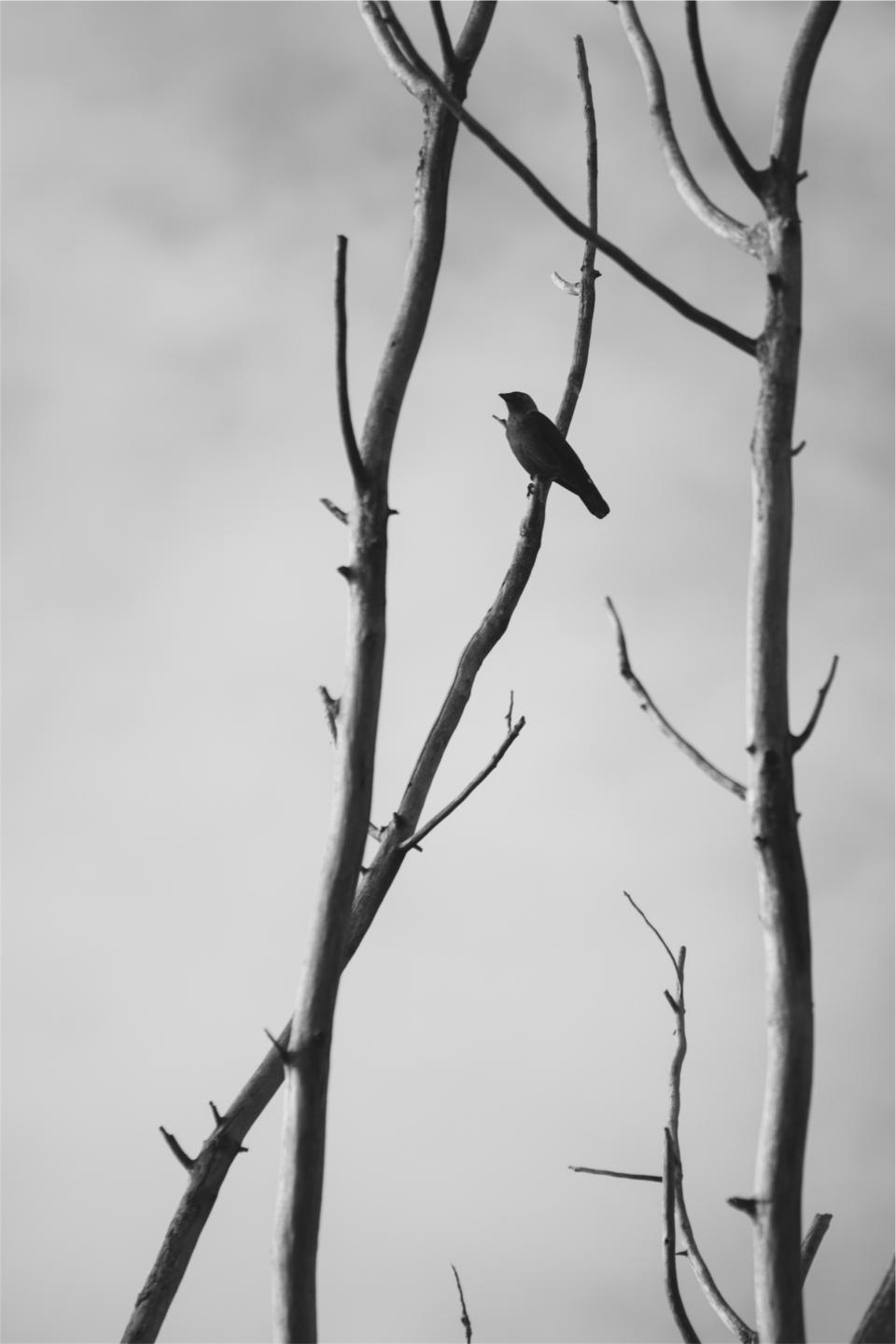 bird, branches, black and white