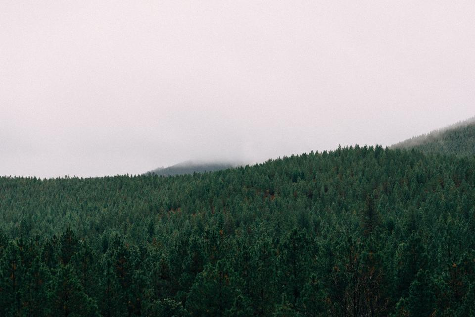 forest, trees, woods, landscape, nature, sky, grey, fog