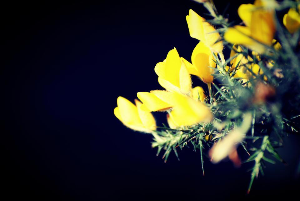 yellow, ginster, flower