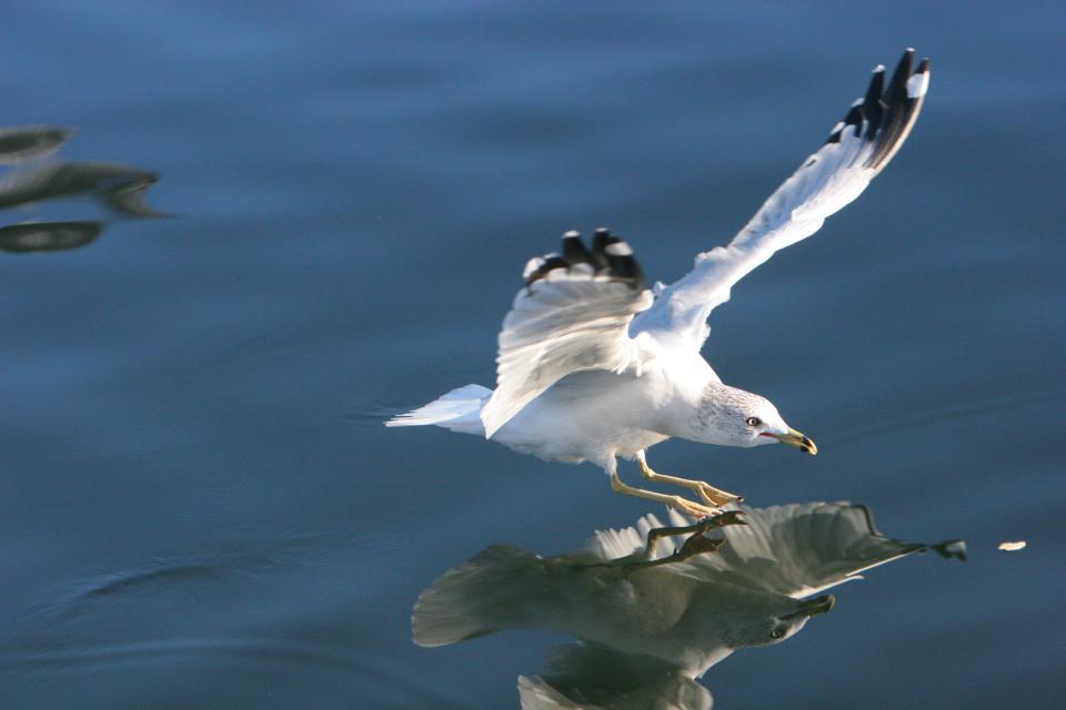 seagull, bird, wings, flying, water, reflection, beak
