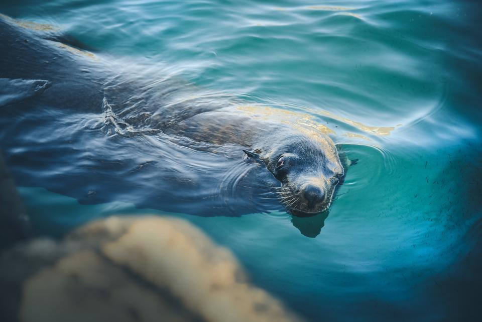 animals, seal, swim, water, ripples, underwater, submerged, cute, adorable, still, bokeh