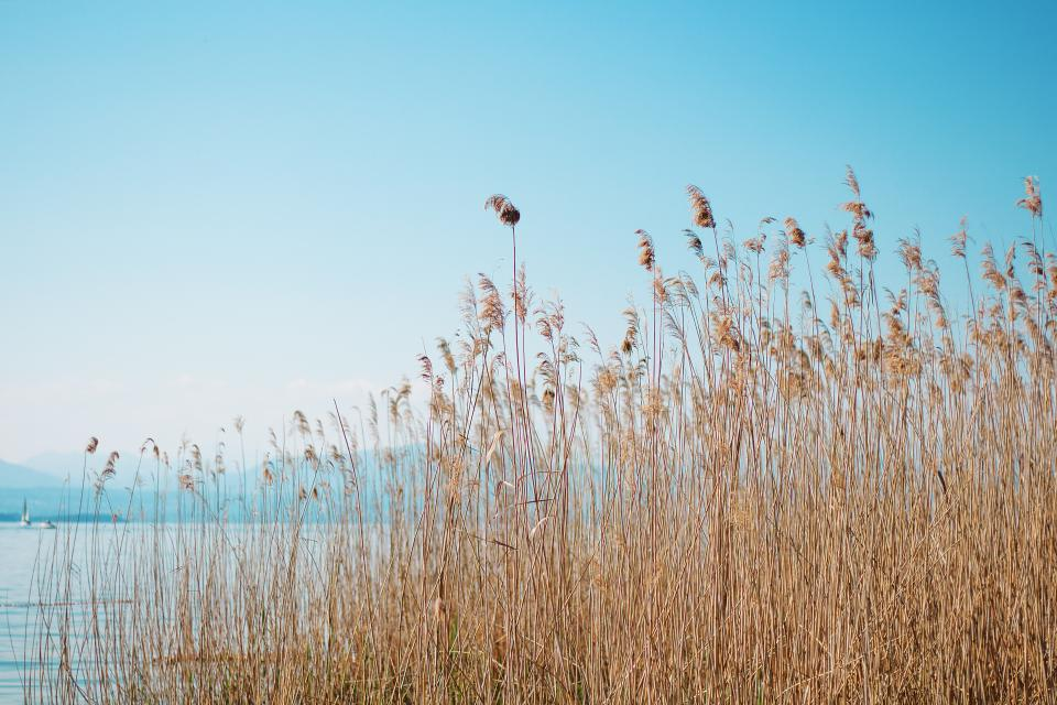 reeds, plants, water, blue, sky, nature