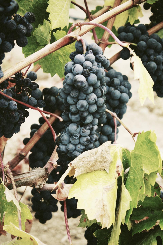 blueberries, fruits, vines