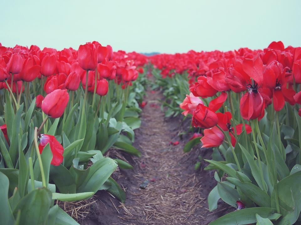 red, tulips, flowers, garden