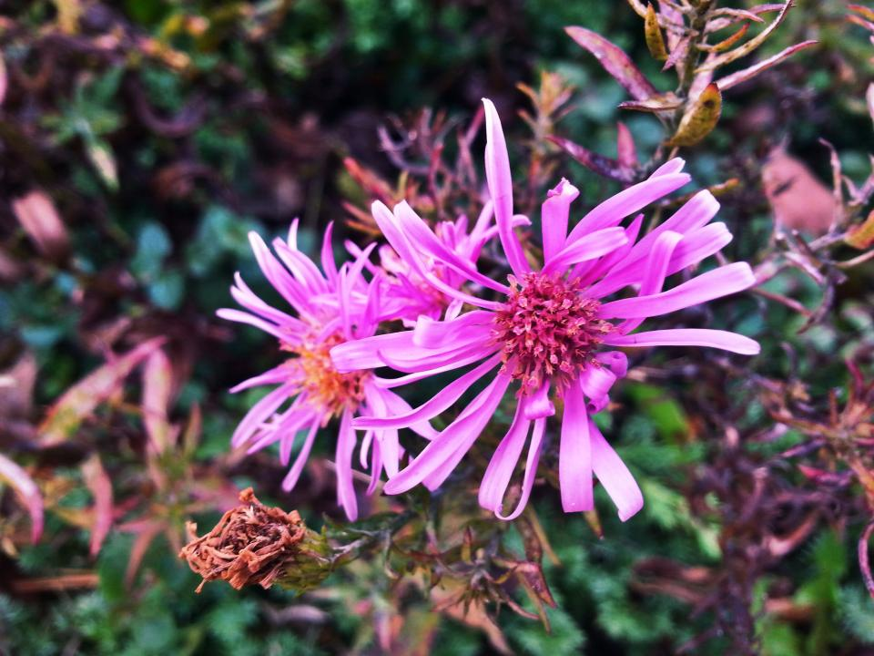 pink, flowers, plants