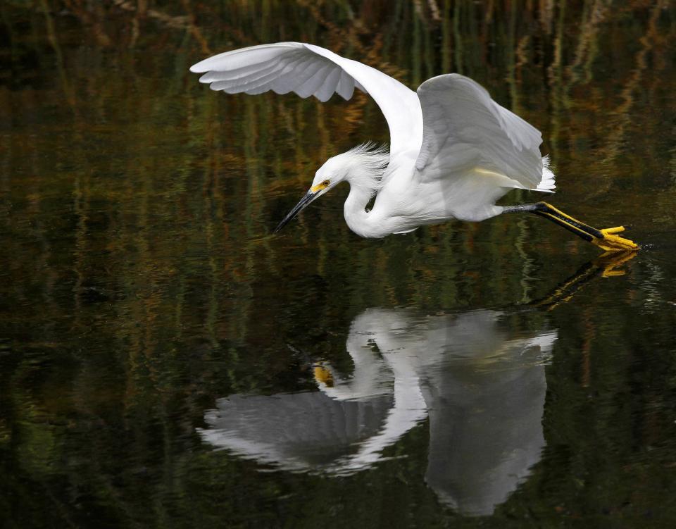 snowy egret, white, bird, animal, fly, water, wet, reflection
