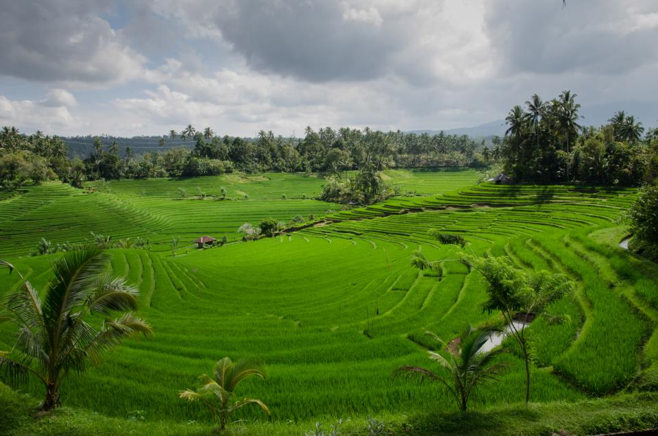 rice paddy field, green, agriculture, bali, landscape, sky, clouds, trees