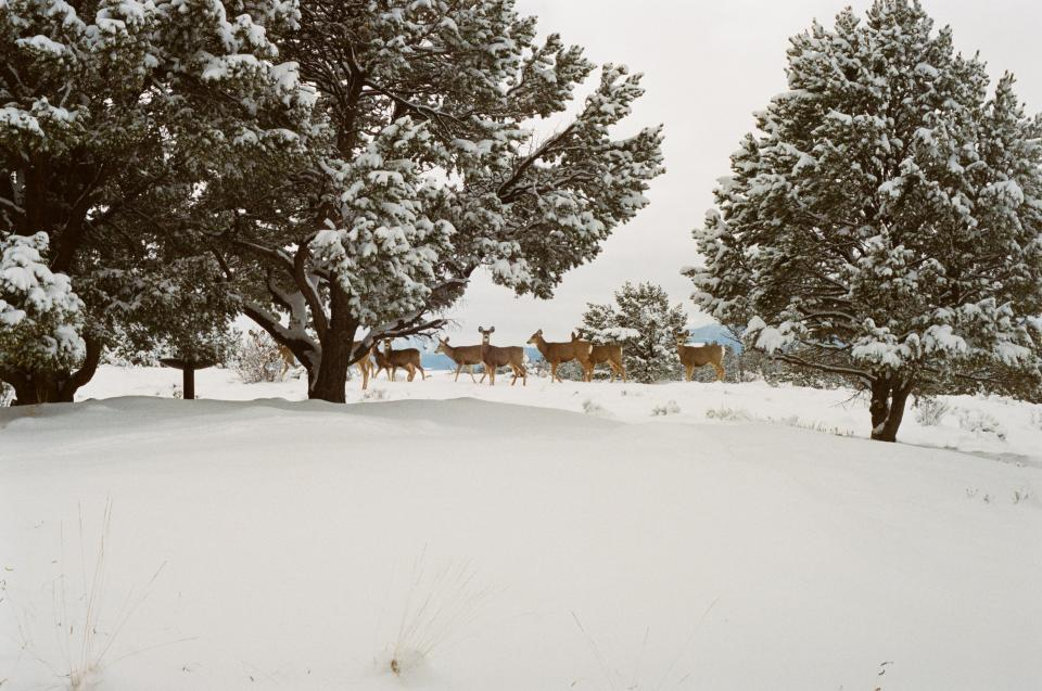 deer, animals, snow, winter, cold, trees, colorado