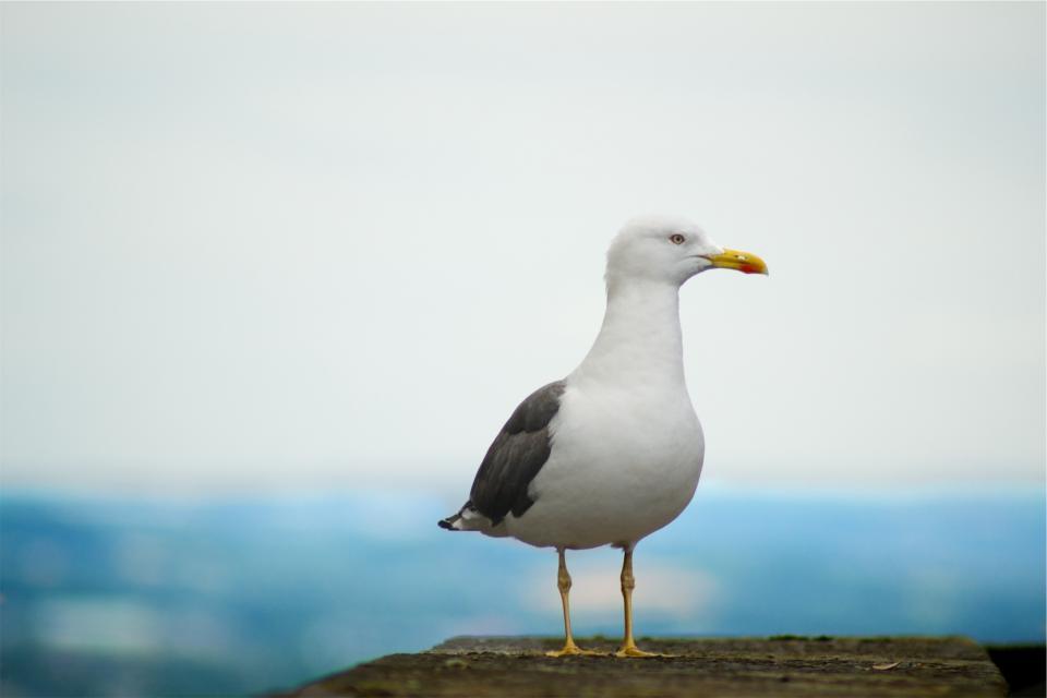 seagull, bird, animal