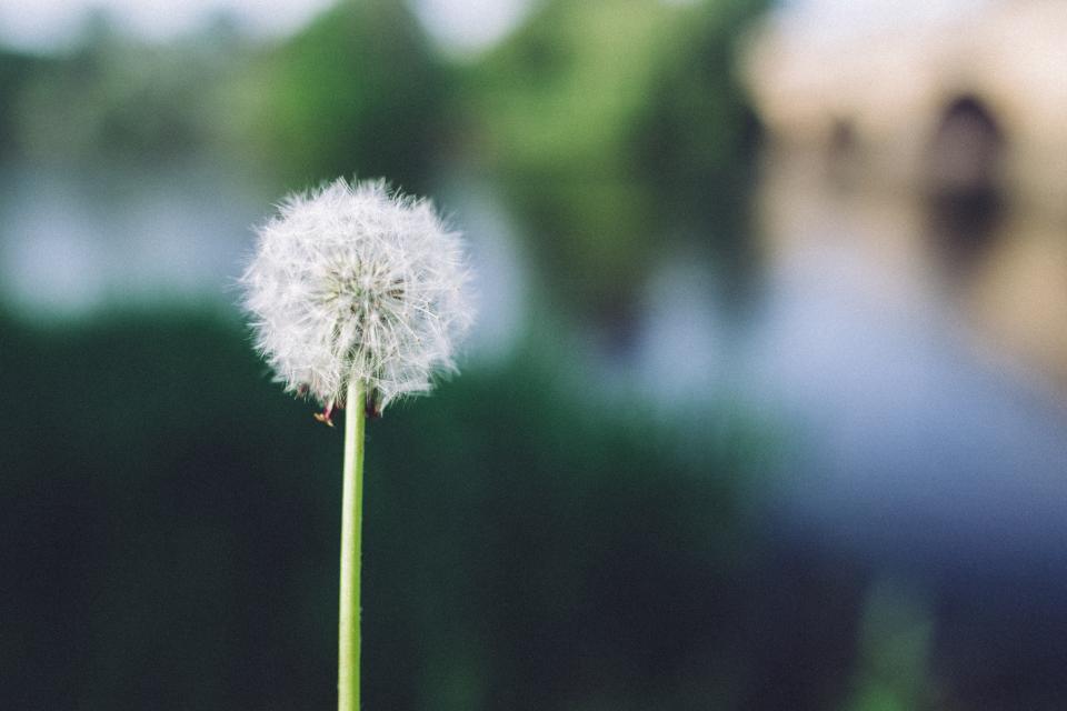 dandelion, flower, nature, blurry