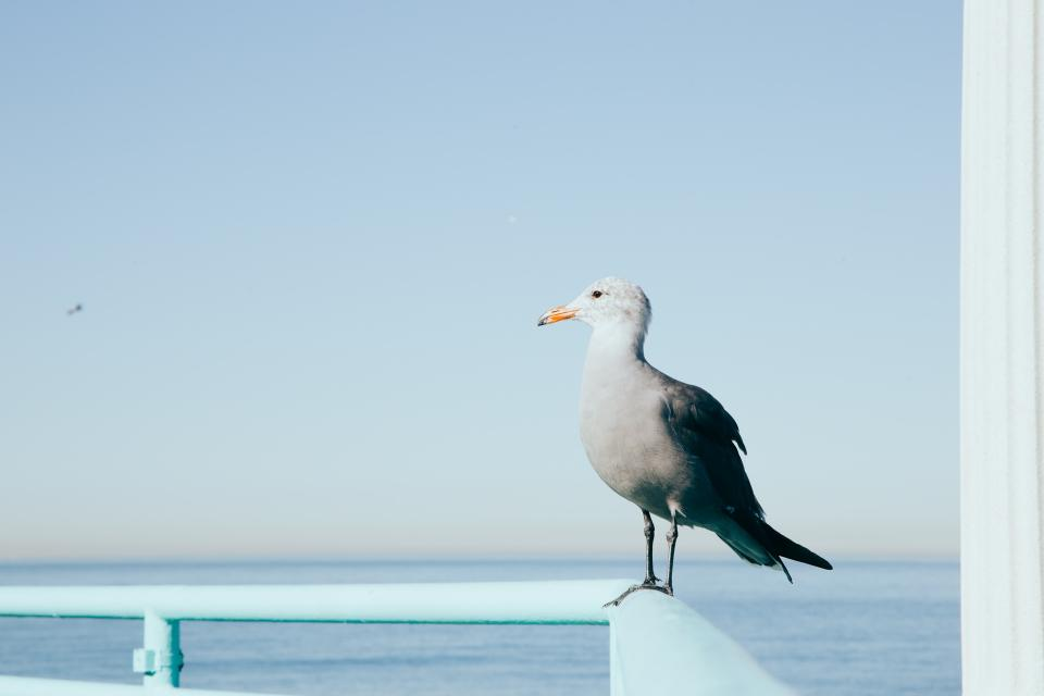 seagull, bird, animals, ocean, sea, water