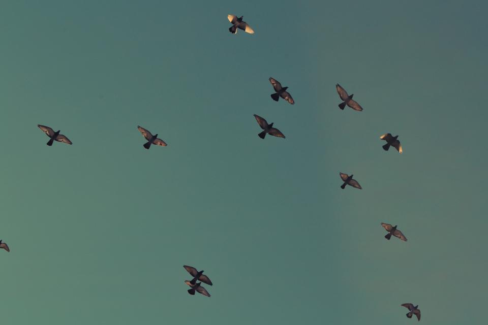 birds, flying, sky, migrate, animals